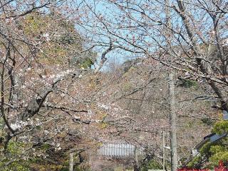 浄妙寺門前のソメイヨシノ