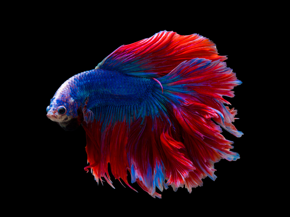 Ciri Ciri Ikan Cupang Hias Yang Bagus