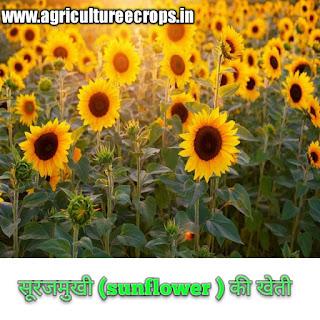 अधिक लाभ कमाने के लिए सूरजमुखी ( Sunflower in Hindi ) की खेती कैसे करें, surajmukhi ki kheti hindi me