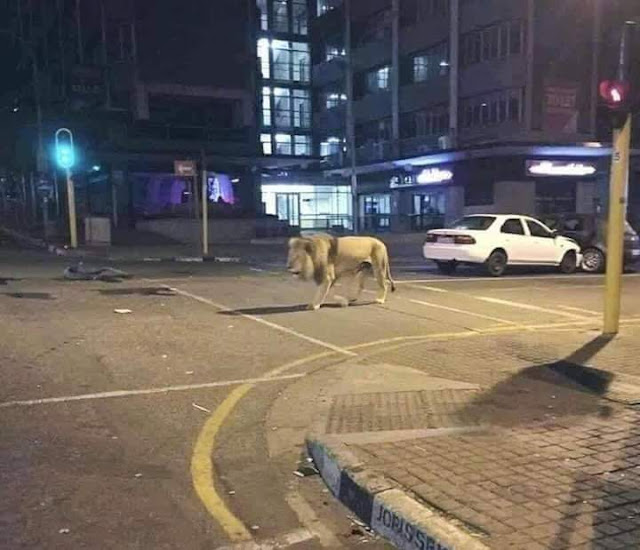 Covid-19: Russia released lions on its streets to make people stay indoors - Video