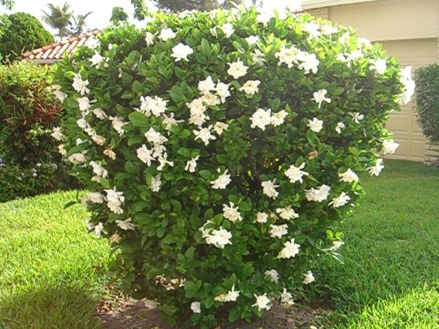 Gardenia Jubilation Full Grown. Swampstyle: Tropical Antifreeze