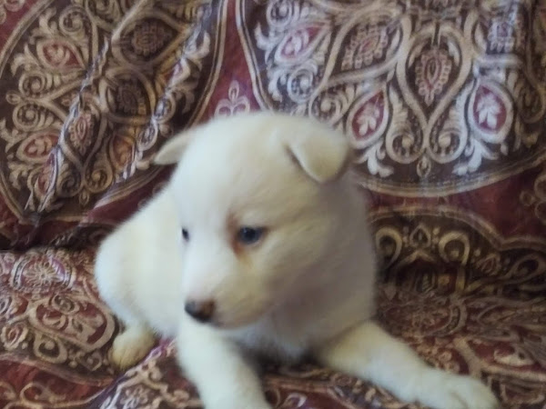 For Sale: White Miniature Siberian Husky Female with Blue Eyes