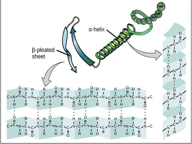 alpha helix of Protein