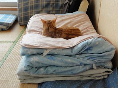 三つ折りにした布団をふたつ重ねた上で、猫が横になって寝ています。