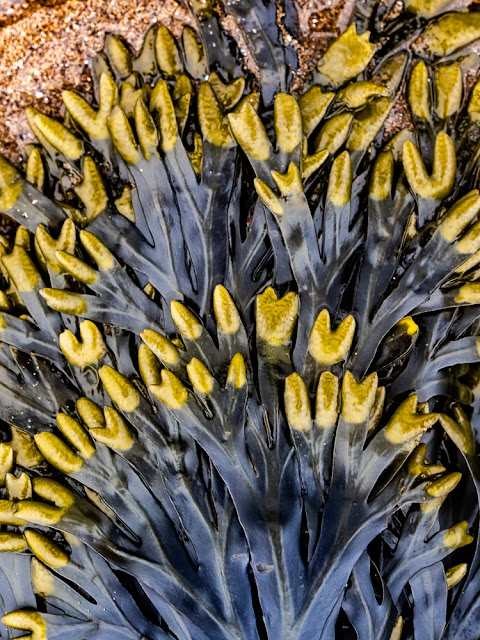 Photo of seaweed uncovered at low tide