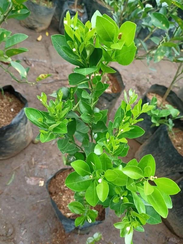 BIBIT tanaman pohon buah JERUK NIPIS limo limau keep nagami songkit sonkit purut santang madu Gorontalo