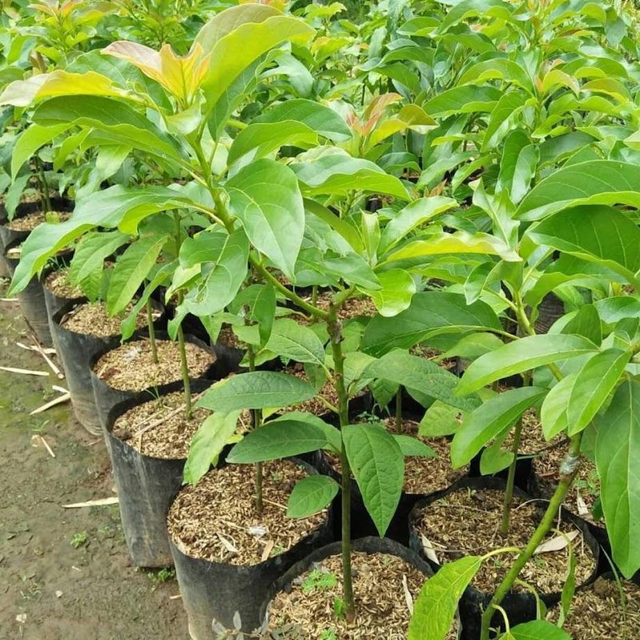 bibit alpukat miki cepat berbuah hasil okulasi Sumatra Barat
