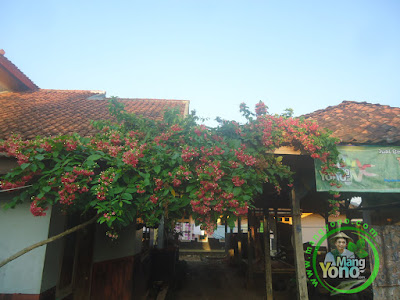 FOTO 3 : Bunga melati Belanda dirambatkan  di kanopi dapur MANGYONOcom