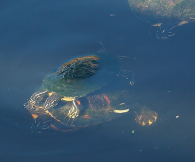 Florida Red-bellied Turtle (Pseudemys nelsoni)