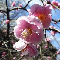 約110本の紅白梅が咲く意賀美神社の梅林(万年寺山の緑陰)
