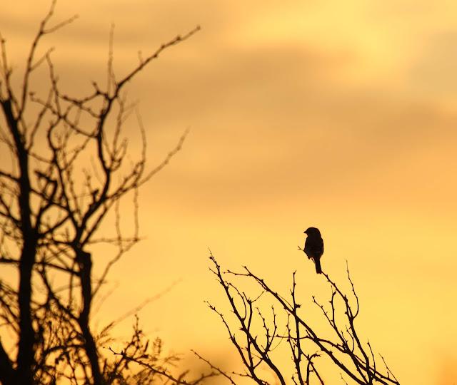 Loggerhead Shrike silhouette