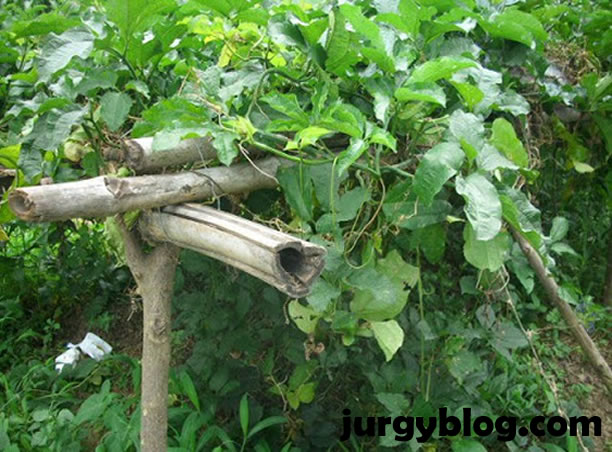 Tips on how to start commercial Ugwu (fluted pumpkin) farming in Nigeria