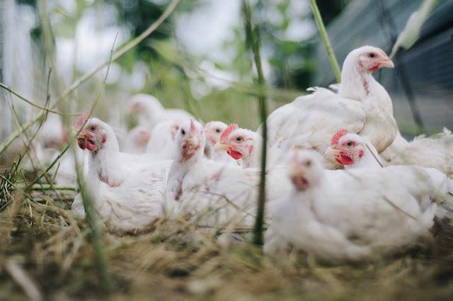 Suguna Broiler Chicken Farm Buy Back Business Idea - Farm Chicken