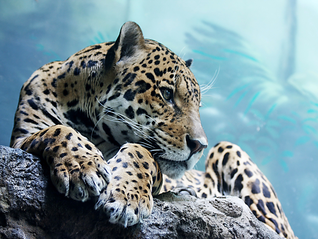 Free Snow Leopard Wallpaper