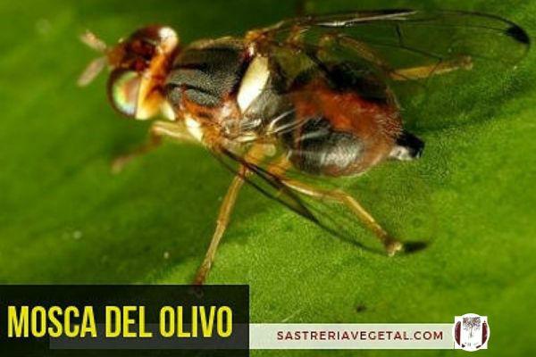 La mosca del olivo, Dacus oleae, es uno de los mayores enemigos de este árbo