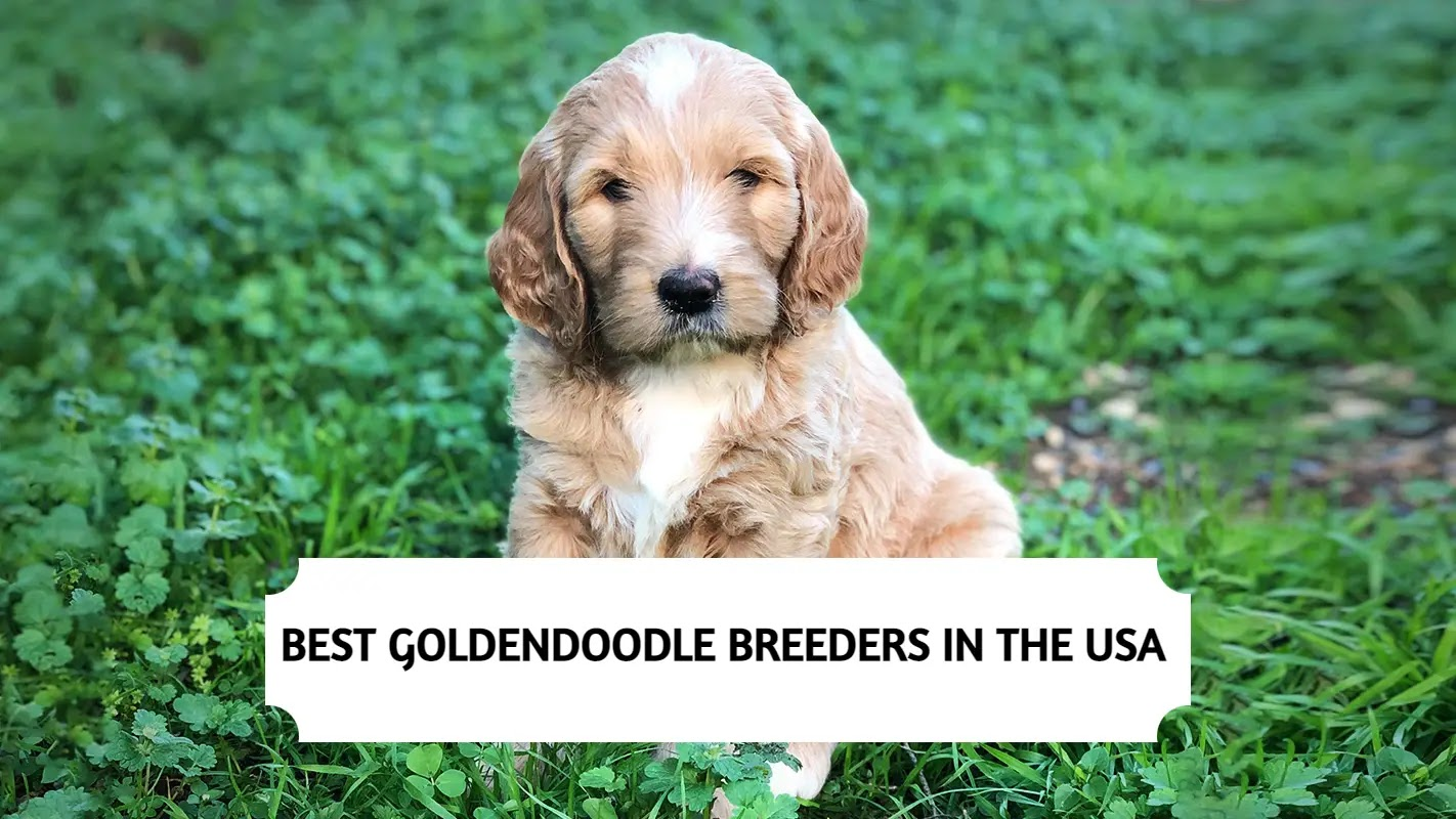 Best Goldendoodle Breeders in the USA