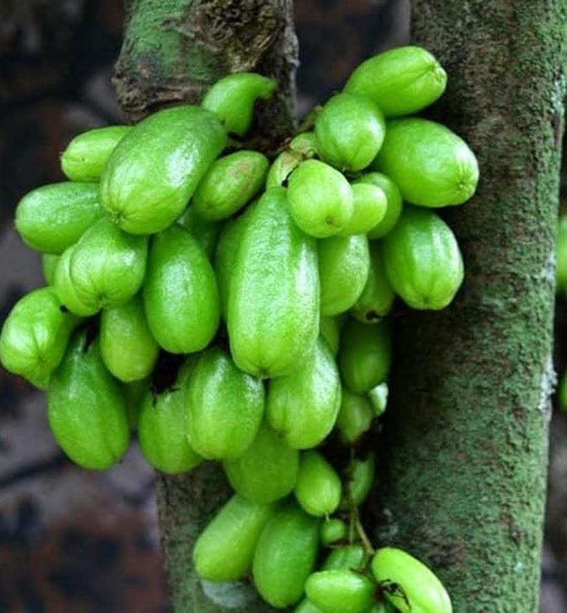 Bibit tanaman buah Bibit Buah Belimbing Wuluh ORI Jawa Barat