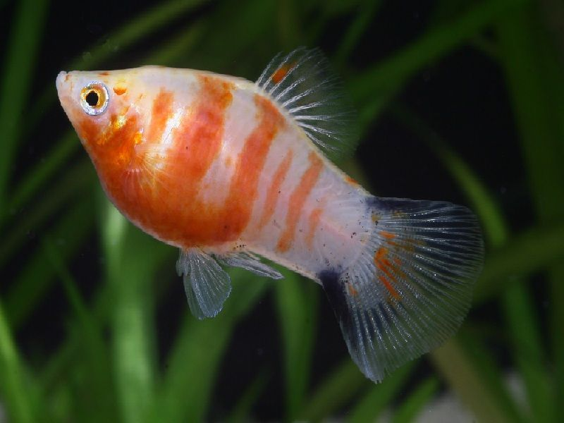 ikan platy cendrawasih
