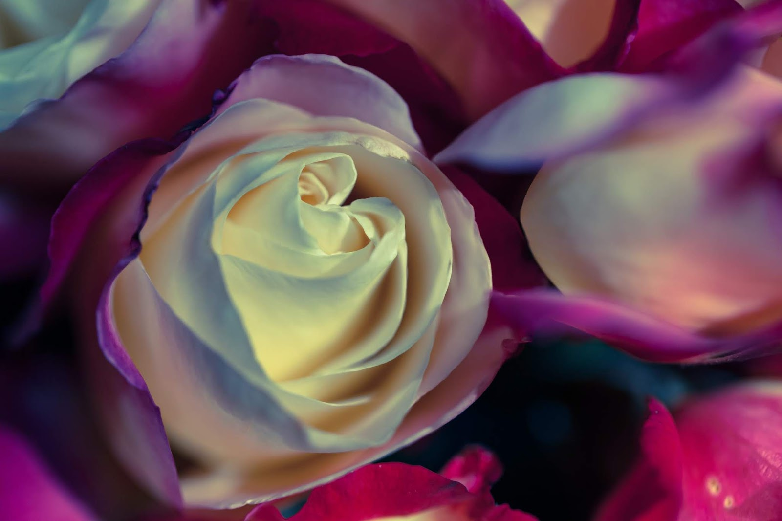 white and purple rose, rose images