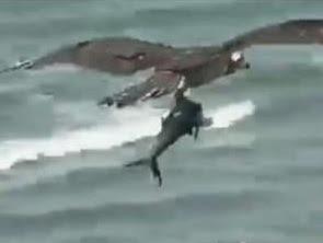 Vídeo impressionante flagra águia carregando tubarão em praia; assista
