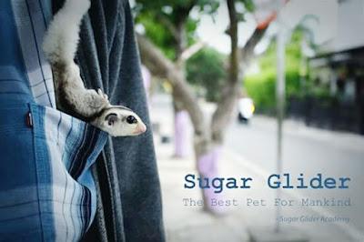 melatih sugar glider agar bonding