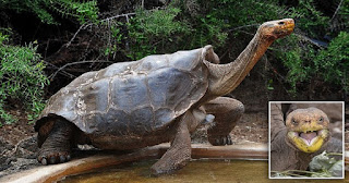 Σeξομανής χελώνος 100 χρονών έσωσε το είδος του κάνοντας πάνω από 800 παιδιά