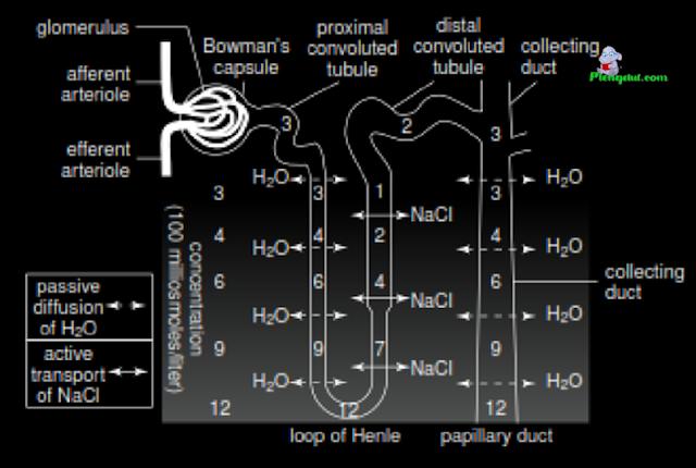 Di lumen H+ menggabungkan dengan HCO3- untuk membentuk asam karbonat (H2CO3) Anhidrida karbonat luminal secara enzimatik mengubah H2CO3 menjadi H2O dan CO2 CO2 bebas berdifusi ke dalam sel Di sel epitel Anhidrida karbonat sitoplasma mengubah CO2 dan H2O (yang melimpah di dalam sel) menjadi H2CO3 H2CO3 mudah terdisosiasi menjadi H+ dan HCO3- HCO3- difasilitasi keluar dari membran basolateral sel  Di lumen H+ menggabungkan dengan HCO3- untuk membentuk asam karbonat (H2CO3) Anhidrida karbonat luminal secara enzimatik mengubah H2CO3 menjadi H2O dan CO2 CO2 bebas berdifusi ke dalam sel Di sel epitel Anhidrida karbonat sitoplasma mengubah CO2 dan H2O (yang melimpah di dalam sel) menjadi H2CO3 H2CO3 mudah terdisosiasi menjadi H+ dan HCO3- HCO3- difasilitasi keluar dari membran basolateral sel