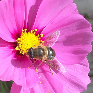 Pink cosmos with bee