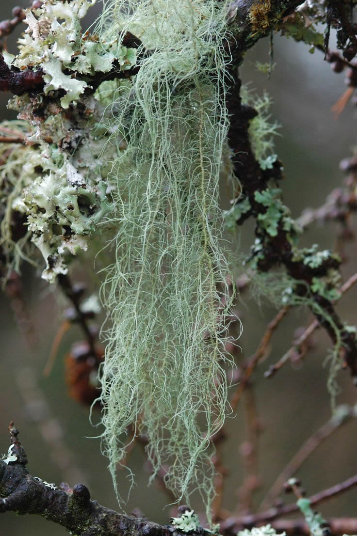 Usnea are very sensitive to the air quality