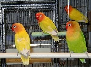 Cara Membedakan Lovebird Jantan Dan Betina Berdasarkan Penampilan Luar CARA MEMBEDAKAN LOVEBIRD JANTAN DAN BETINA BERDASARKAN PENAMPILAN LUAR