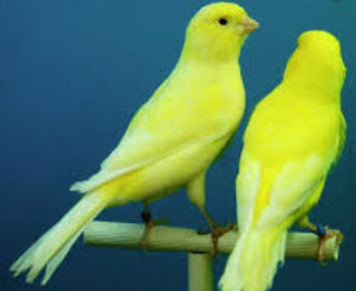 burung kenari dan burung puyuh