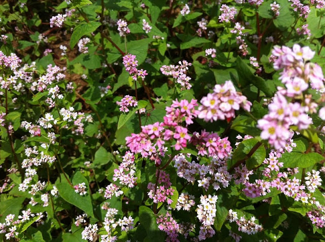 Ha Giang- filled with October's buckwheat flowers