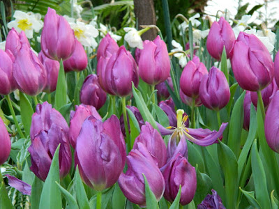 Purple tulips at the 2018 Allan Gardens Conservatory Spring Flower Show by garden muses-not another Toronto gardening blog
