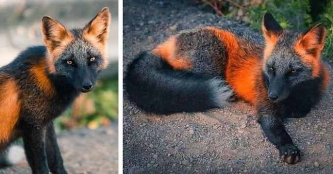 Unique Orange and Black 'Fire-Fox' Poses for Friendly Photographer (12 Pics)
