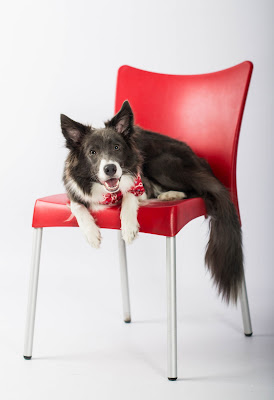 A border collie in a red bandana on a red chair. How kindness can change the world for dogs and cats.