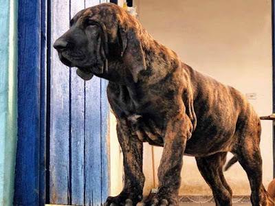 Fila Brasilerio Dog Breed