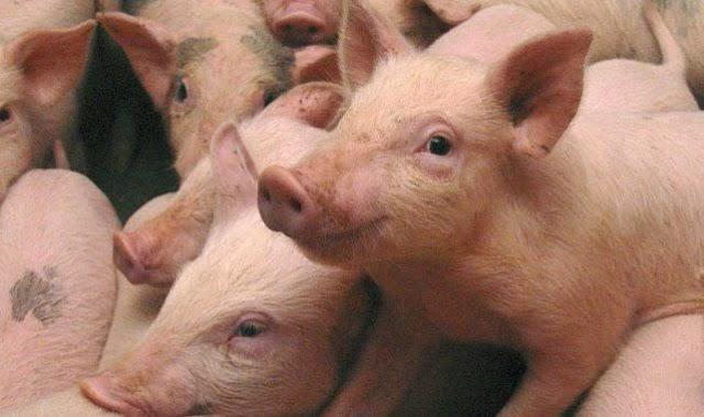 104-ből 100 sertésről nem volt igazolás egy szekszárdi állatvásáron
