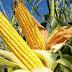 होशंगाबाद - मक्का को फॉल आर्मी वर्म से बचाने के लिए किसान भाईयो को कृषि वैज्ञानिको ने दी सलाह
