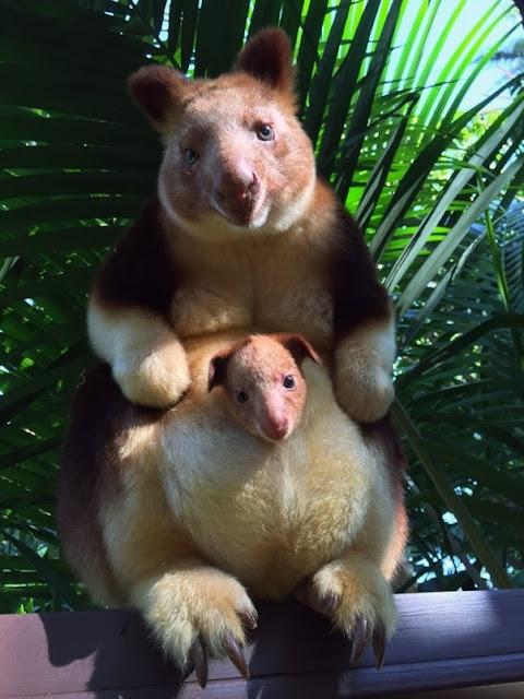 kanguru dari indonesia - catatanadi.com