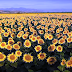 """""""Ηλίανθος. Ο Ελληνικός εκπληκτικά όμορφος κίτρινος χρυσός της βιοκίνησης""""![video]"""