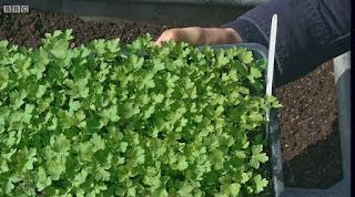 Gardeners' World Flat Leaf Parsley
