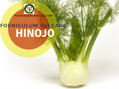 Hinojo planta comestible para mejorar la salud en casa