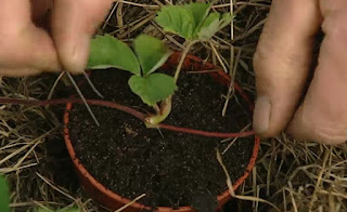 Strawberry is planted