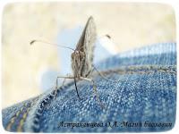 бабочка, хоботок, сатир, коричневый, джинса