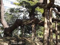 300 year old pine two main trunks - Hama-Rikyu Garden, Tokyo, Japan