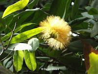 Stifftia, a jungle plant - Kyoto Botanical Gardens Conservatory, Japan
