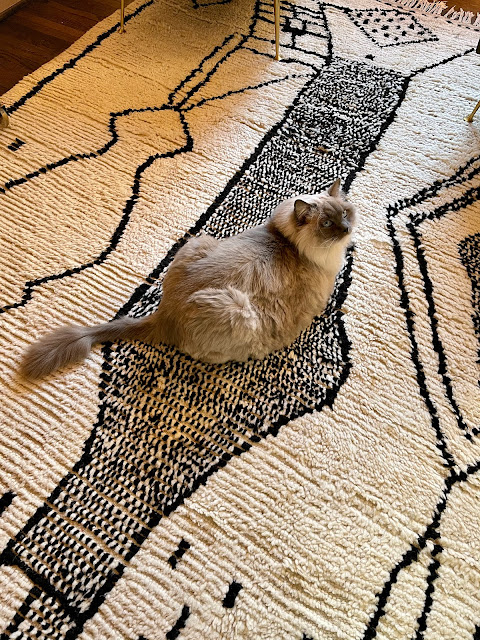 big Ragdoll cat on a black and white rug
