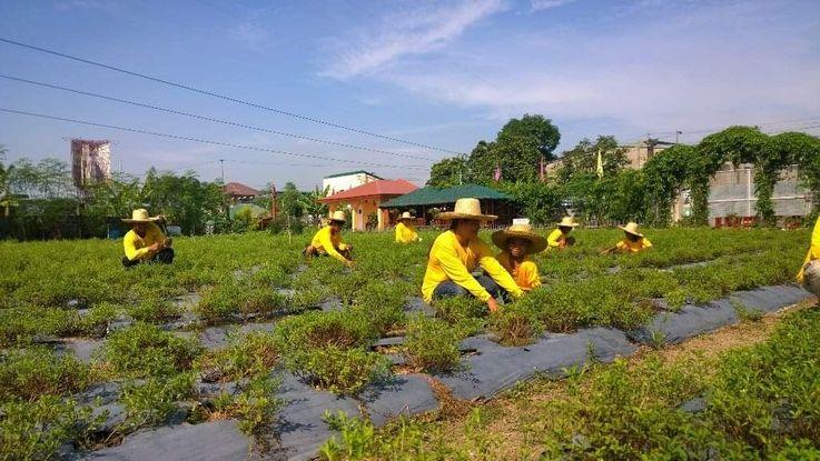 Stevia farm in the Philippines