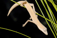 http://sciencythoughts.blogspot.co.uk/2014/11/a-new-species-of-phasmid-gecko-from.html