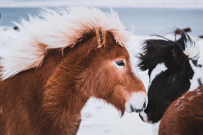 Los caballos islandeses están dentro de la opción de ocio gratuito en Islandia si sabes donde visitarlos